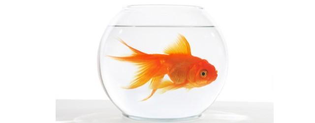 goldfish in round fishbowl